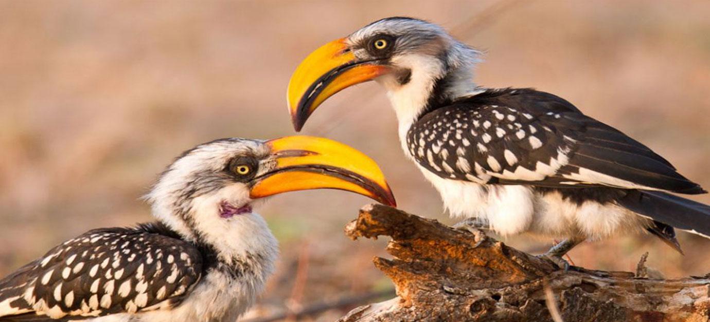 Hornbill birds