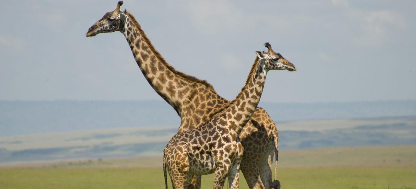 kenya-safaris-from-galu-beach-robert-safaris-adventures-kenya-safari-holidays