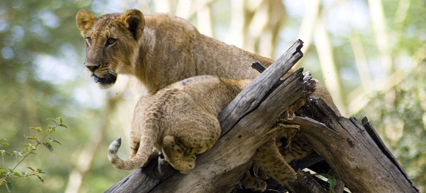 lake-nakuru-lions-robert-safaris-adventure-kenya-safaris-prices