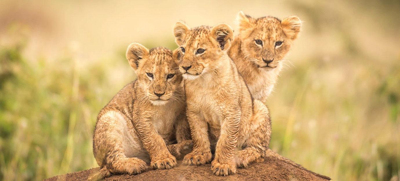 masai-mara-lions-robert-safaris-adventure-galu-beach-safaris-prices