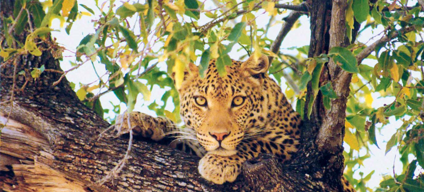 Leopard MasaiMara