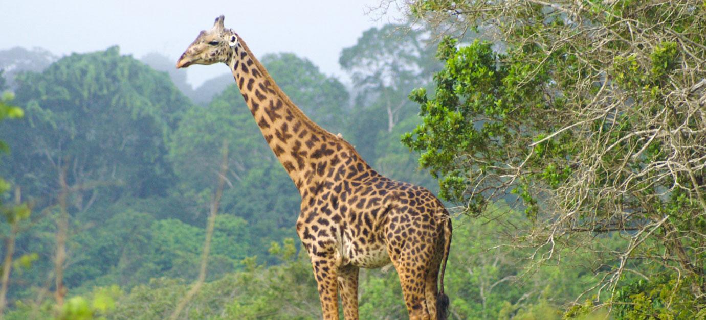 shimba-hills-giraffe-safaris-rom-galu-beach-robert-safaris-adventure-mombasa-safaris-prices