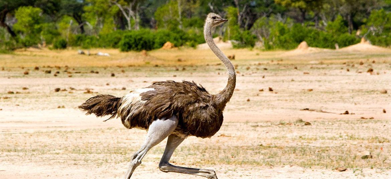 Ostrich masai mara